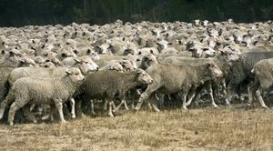 Sheep Herd on the Move