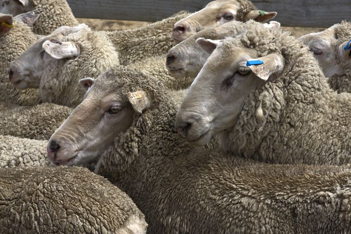 Sheep, Sheep, Sheep - Sally Weigand Images