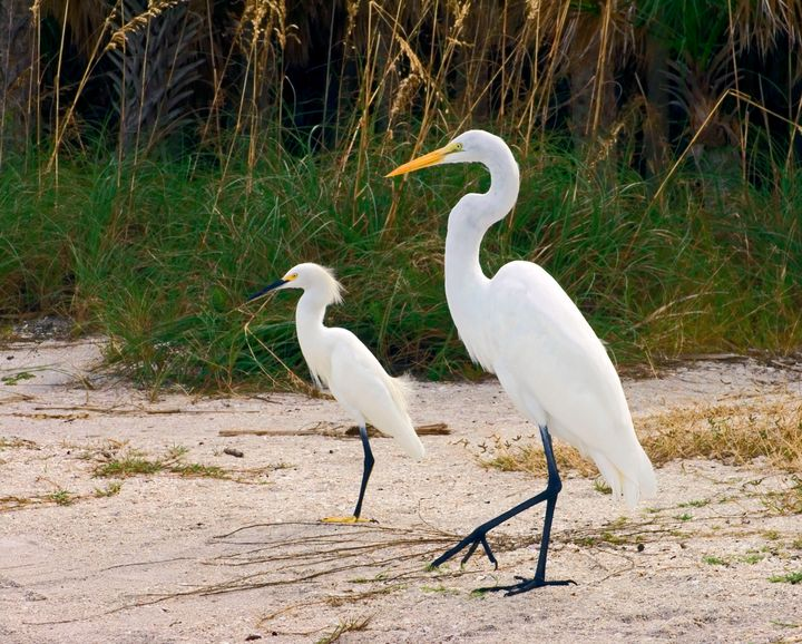 Great and Snowy Egrets - Sally Weigand Images