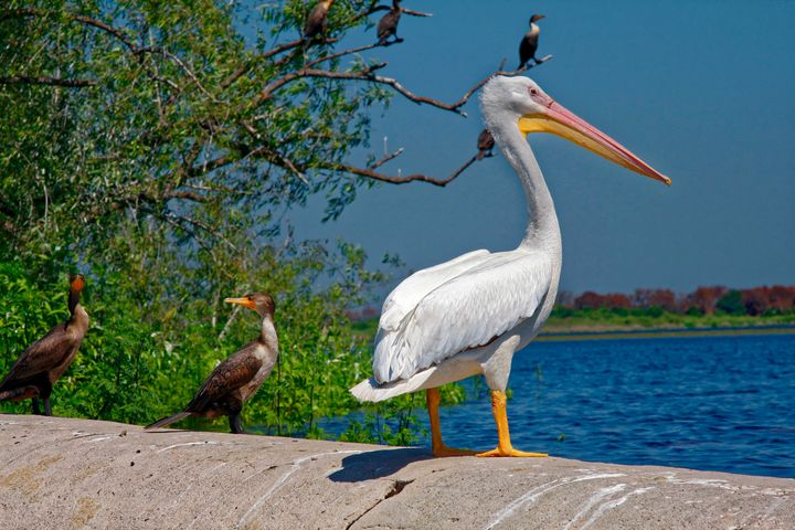 American White Pelican - Sally Weigand Images