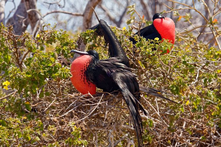Magnificent Frigatebirds - Sally Weigand Images