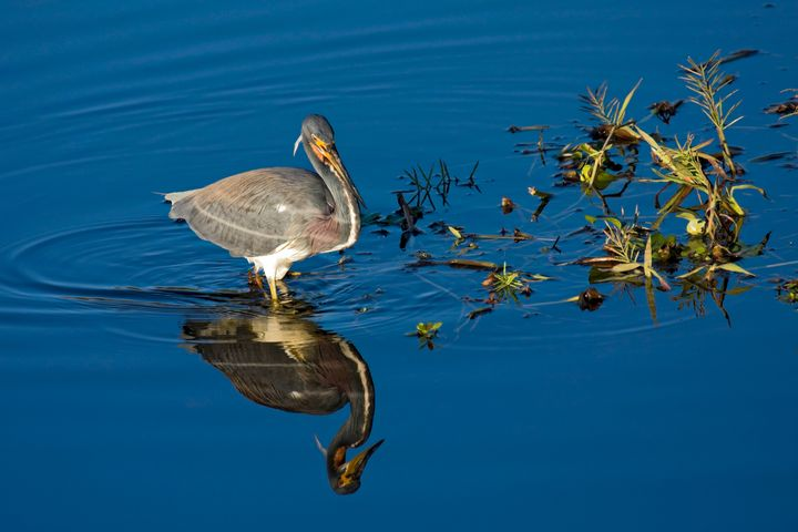 Tricolor Heron Reflected - Sally Weigand Images