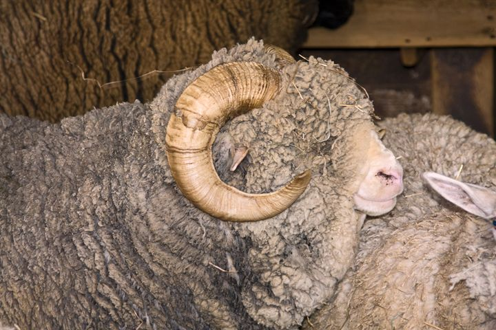 Ram Portrait - Sally Weigand Images