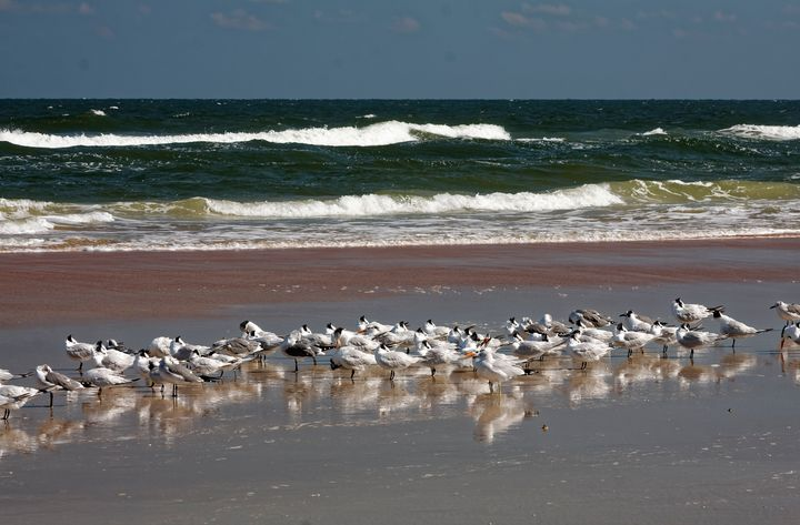 Royal terns Reflected in Wet Sand - Sally Weigand Images