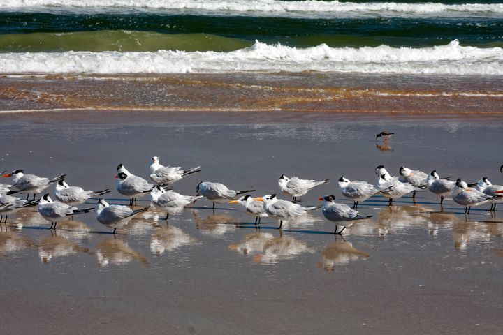 Royal Terns and Waves - Sally Weigand Images