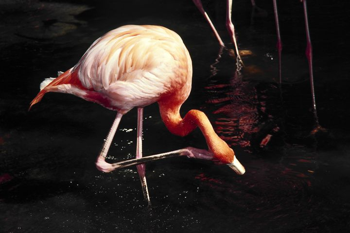 Flamingo Scratching Head - Sally Weigand Images