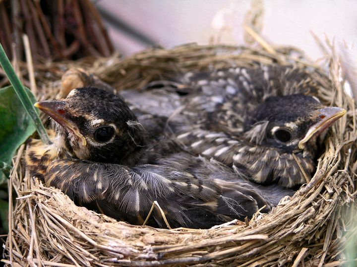Baby Robins in Nest - Sally Weigand Images