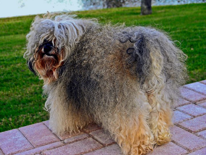 Havanese Dog - Sally Weigand Images
