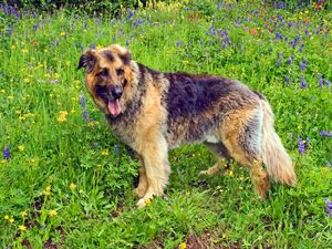 Dog Among Wildflowers
