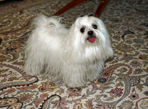 Maltese Showing Tongue