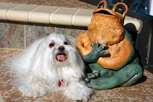 Maltese by Ceramic Frog