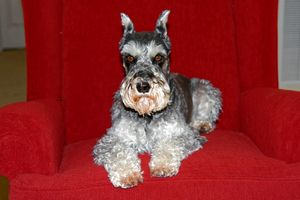 Schnauzer on Chair