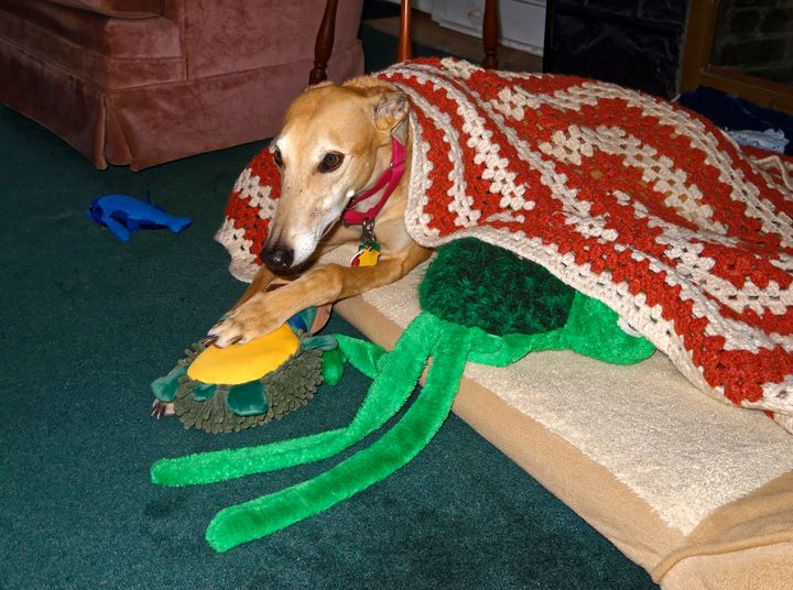 Greyhound With Toys - Sally Weigand Images