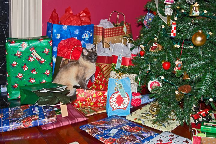 Tonkinese by Christmas Tree - Sally Weigand Images