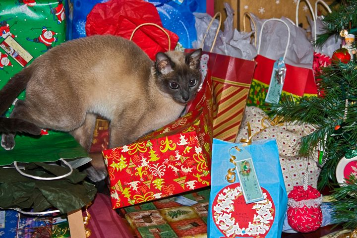 Tonkinese Among Christmas Gifts - Sally Weigand Images