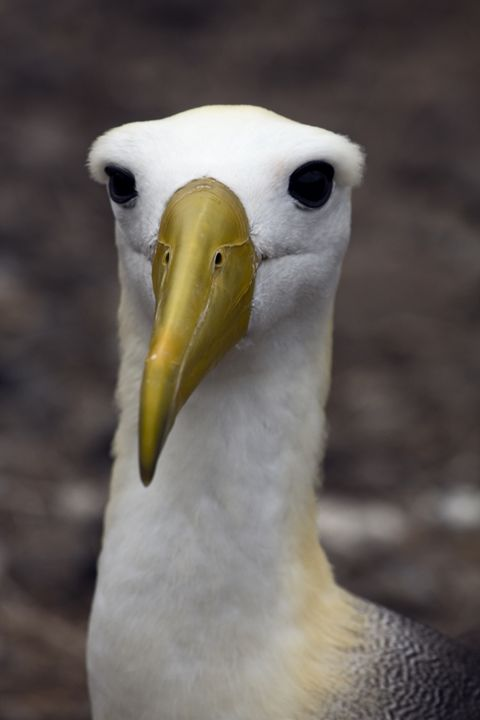 Waved Albatross Portrait - Sally Weigand Images