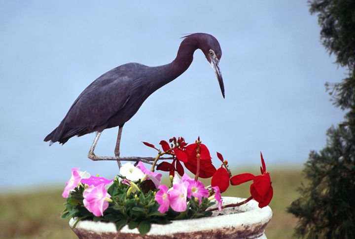 Little Blue Heron With Flowers - Sally Weigand Images