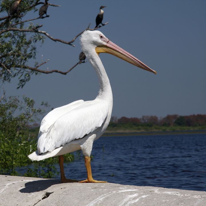 White Pelican - Sally Weigand Images