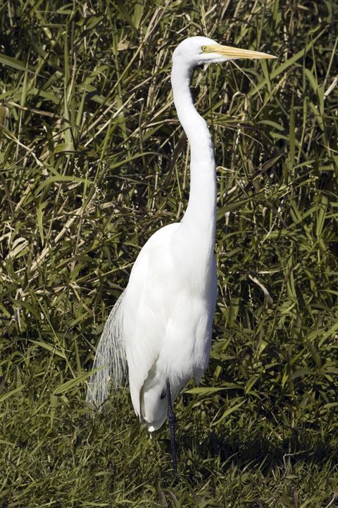 Great Egret - Sally Weigand Images