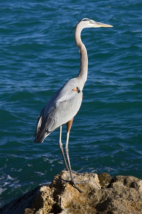 Great Blue Heron - Sally Weigand Images