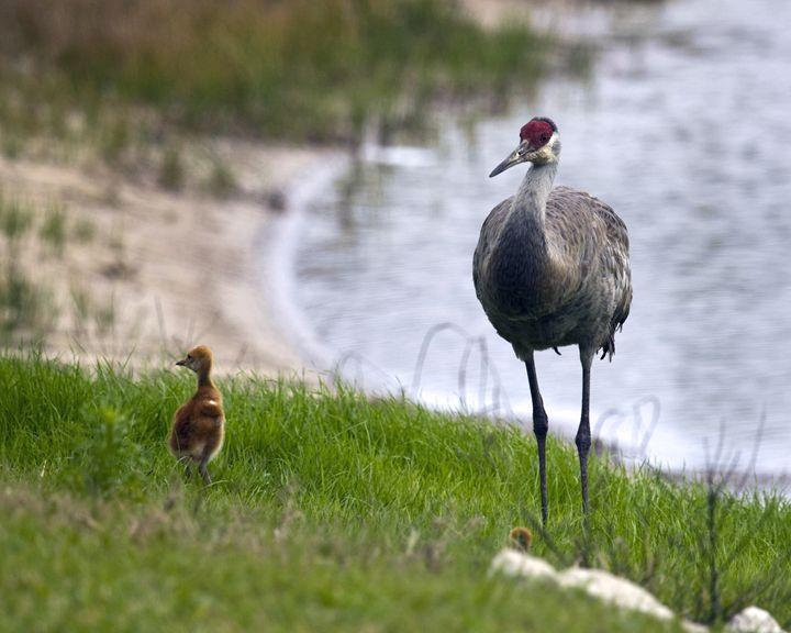 Sandhill Cranes Baby & Mother - Sally Weigand Images
