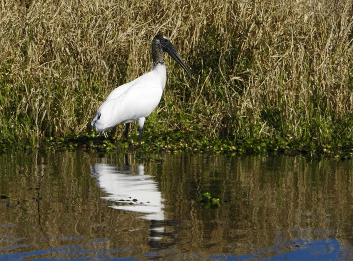 Wood Stork Reflected - Sally Weigand Images
