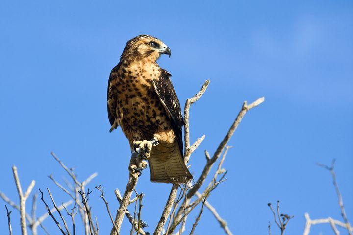 Galapagos Hawk - Sally Weigand Images