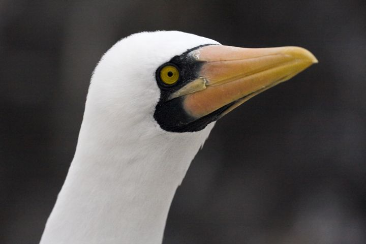 Nazca Booby Close-up - Sally Weigand Images