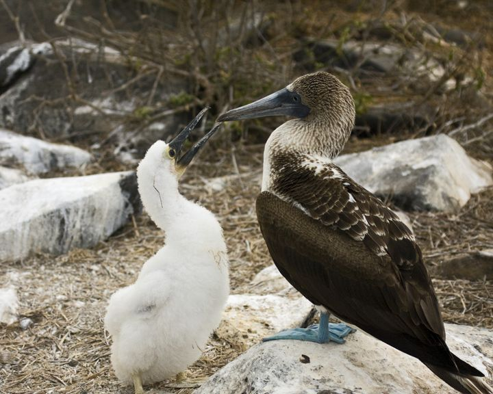 Blue-footed Booby Chick & Mother - Sally Weigand Images
