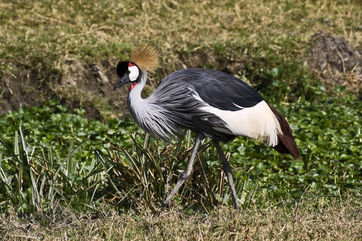 Grey Crowned Crane Walking - Sally Weigand Images