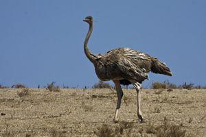 Ostrich Walking - Sally Weigand Images