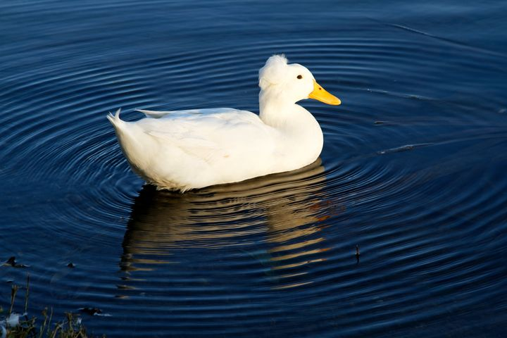 White Crested Duck Swimming - Sally Weigand Images