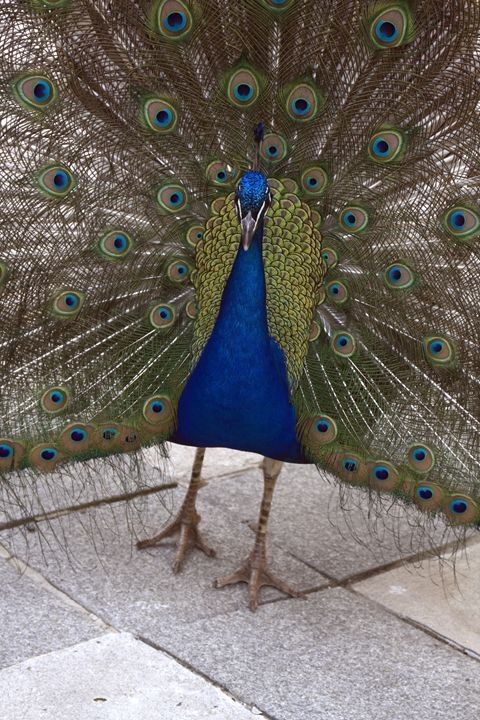 Peacock Portrait - Sally Weigand Images