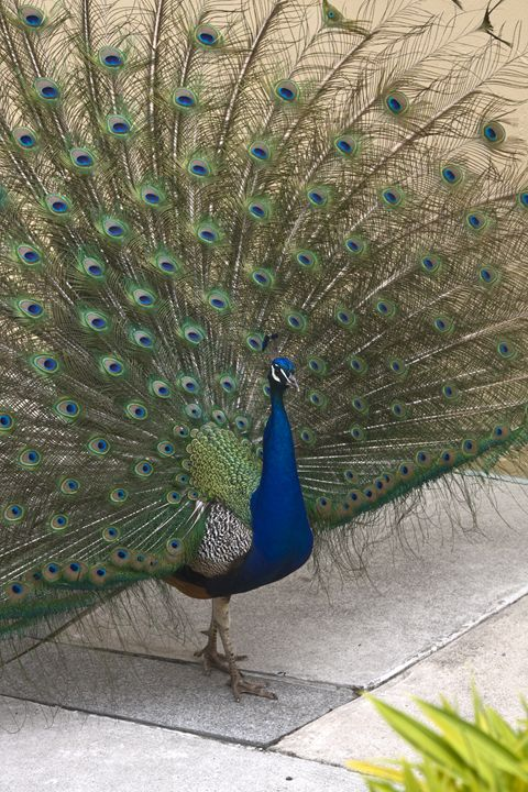 Strutting Peacock - Sally Weigand Images