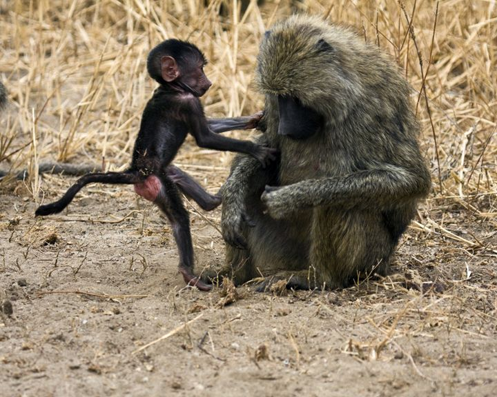 Olive Baboons Baby & Mother - Sally Weigand Images