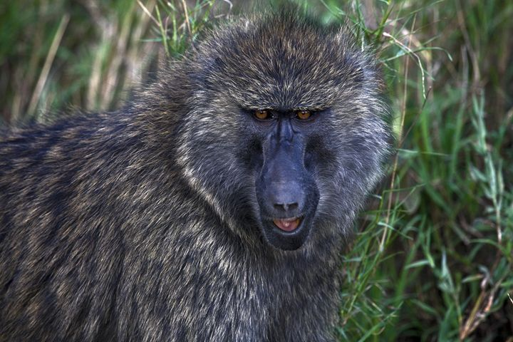 Olive Baboon Portrait - Sally Weigand Images