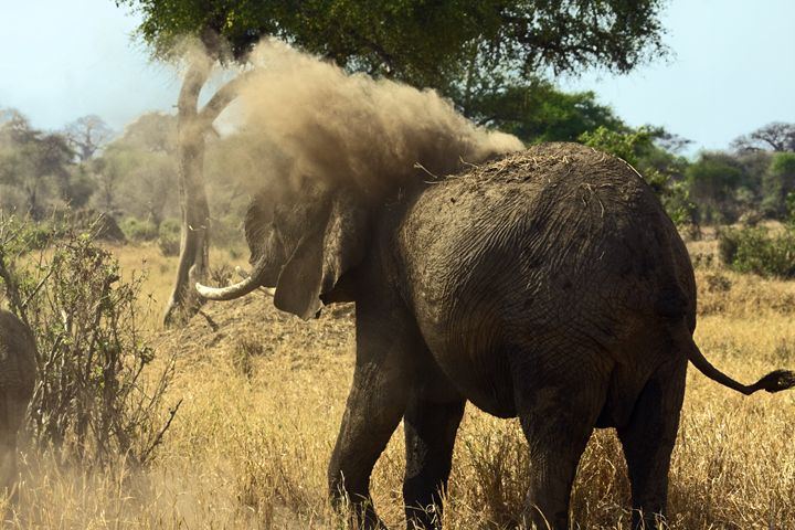 African elephant Tossing Dirt - Sally Weigand Images