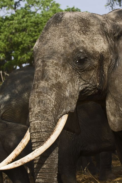 African Elephant Portrait - Sally Weigand Images