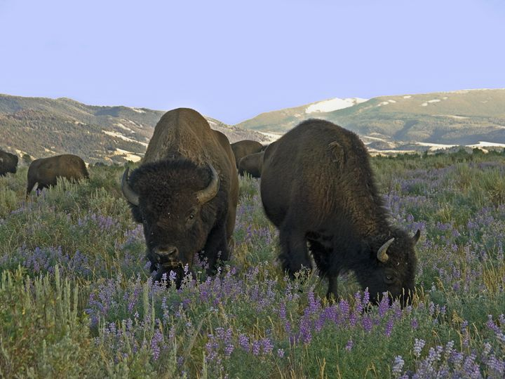 American Bison Among Wildflowers - Sally Weigand Images