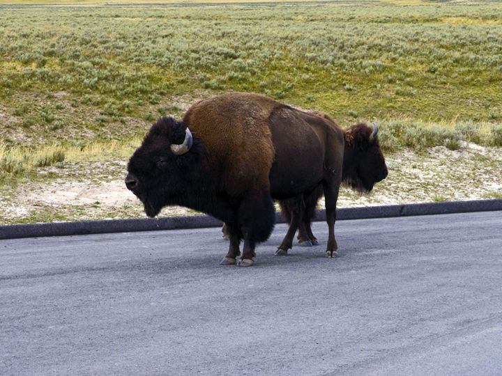 2-headed Bison? - Sally Weigand Images