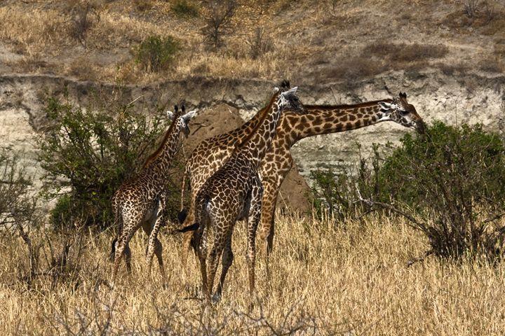 Three Giraffes - Sally Weigand Images