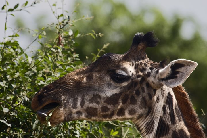 Giraffe Eating Leaves - Sally Weigand Images