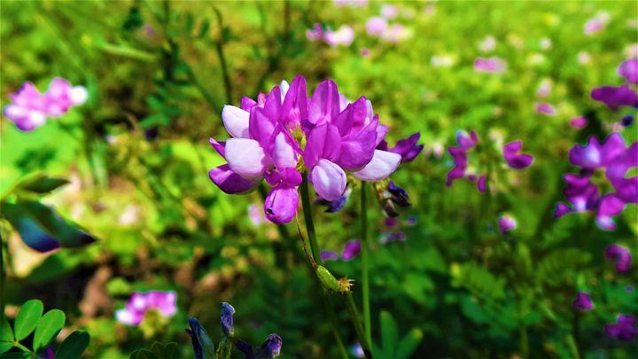 Purple Clovers - Jonathan M. Schwartzman
