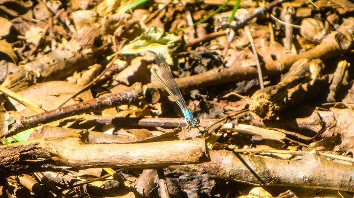 Blue Dragonfly Macro - Jonathan M. Schwartzman