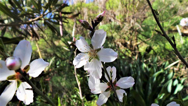 Almond Blossoms - Jonathan M. Schwartzman