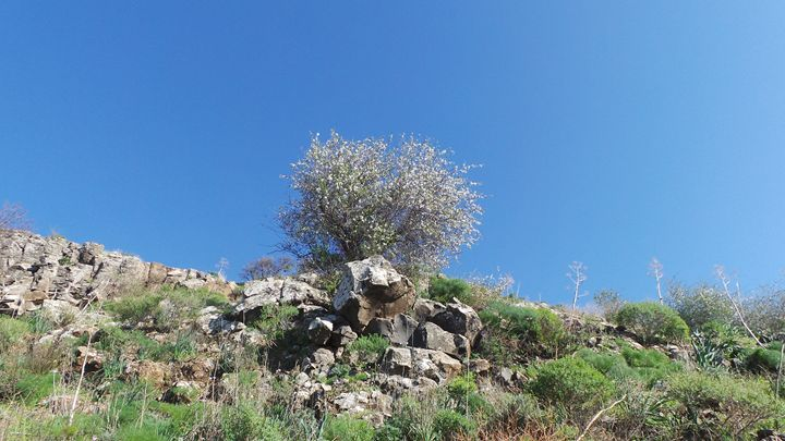 Lonely Almond Tree - Jonathan M. Schwartzman