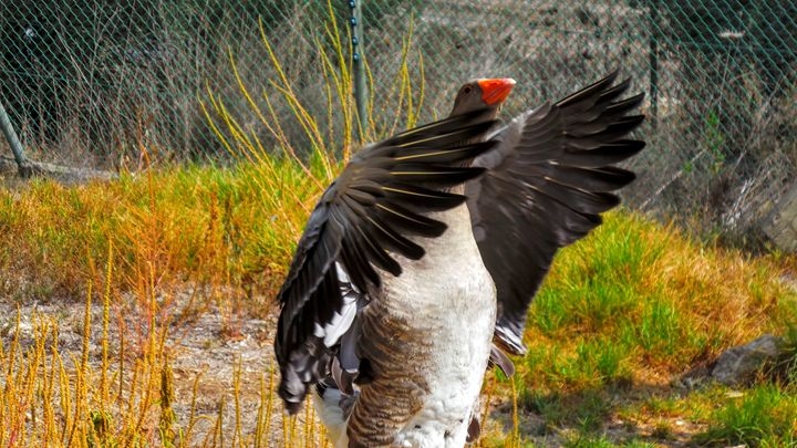 Mother Goose - Jonathan M. Schwartzman