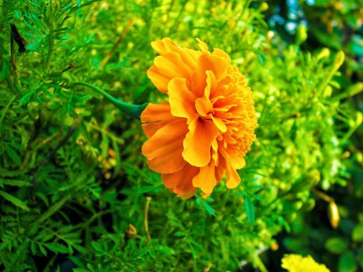 Orange Flower - Jonathan M. Schwartzman