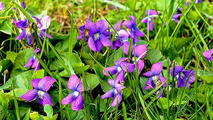Purple Flowers - Jonathan M. Schwartzman