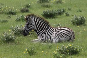 Zebra Youth